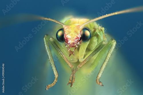 A common green lacewing (Chrysoperla carnea) up close.