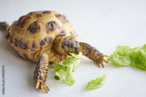 Aluminium Schildpad Turtle eating salad.