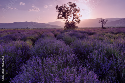 Keuken foto achterwand Aubergine Lavender fields. Beautiful image of lavender field. Summer sunset landscape, contrasting colors. Dark clouds, dramatic sunset.