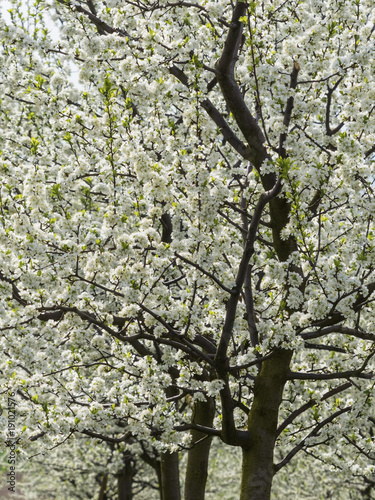 Tuinposter Planten blossoming fruit trees in spring