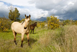 Horse in the orange orchard with mountain and thunder sky in the background   - 191021934
