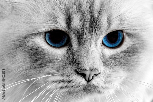 blue-cat-eyes-close-up-detail
