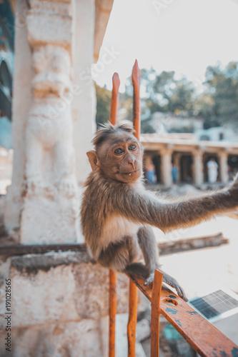 Fotobehang Aap Babyaffe, süße Äffchen in Indien