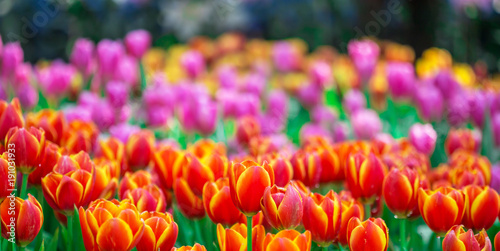 Fotobehang Tulpen The colorful tulip flowers with green leaves in the park or in the nature.