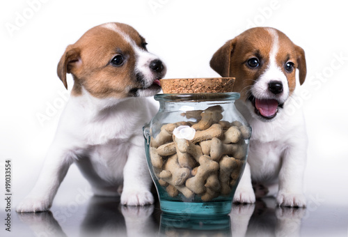 Jack Russell Terrier and food - 191033554