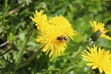 Труженица пчелка