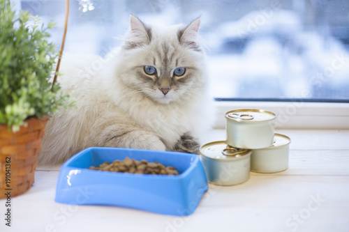 A beautiful point-seal siberian female cat with blue eyes is lying on a window s Poster