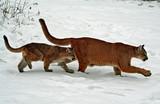 Mama & Baby Cougar - 191041536