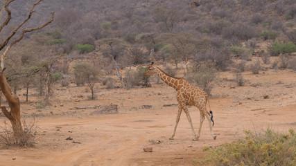 Lonely Giraffe Walking On The Dry Dusty African Savannah, Samburu Kenya