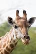 Quadro Close up of the head of a giraffe