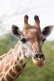 Close up of the head of a giraffe - 191043103