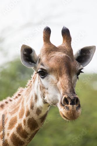 Fototapeta Close up of the head of a giraffe