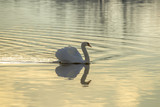 Male mute swan is swimming on the water - 191044996