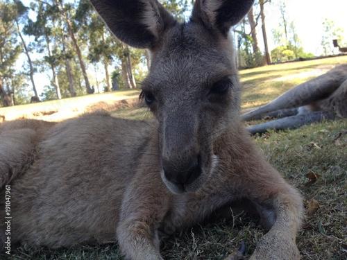 Fotobehang Kangoeroe La pose du kangourou