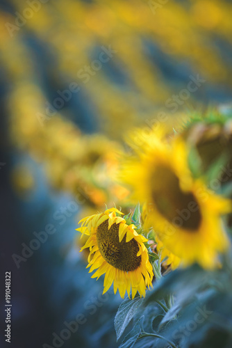 Foto op Canvas Oranje Sunflower field on sunset