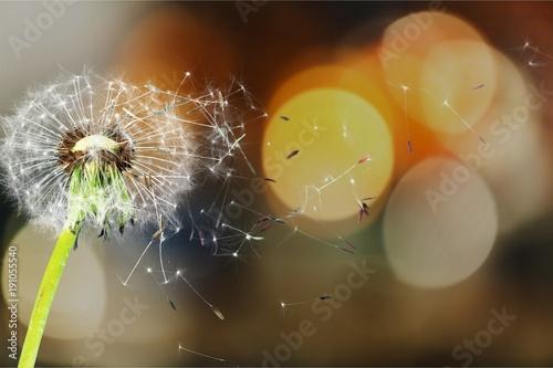 Fotobehang Paardenbloemen Dandelion.