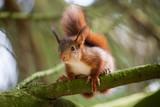 Jeunes écureuils grimpant dans un arbre - 191060776