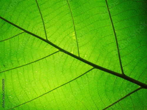 Foto op Canvas Natuur Leaf texture pattern for spring background,texture of green leaves,ecology concept