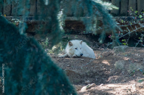 Aluminium Wolf Loup Blanc Artique dans un parc zoologique