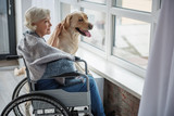 Delighted senior woman sitting in invalid chair in front of window. She is looking outside with serene smile and stroking the hound. Pooch is standing near old lady - 191079747