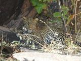 Comfy Leopard