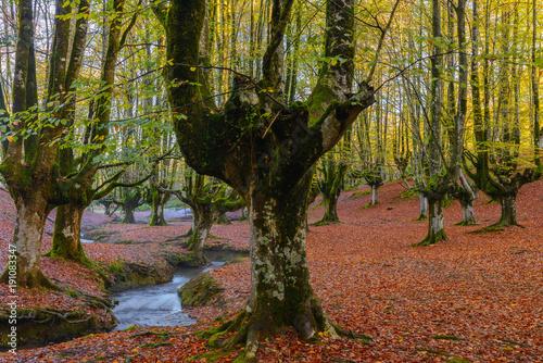 Aluminium Herfst Otzarreta beech forest, Gorbea Natural Park, Vizcaya, Spain