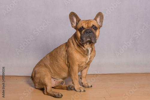 Foto op Plexiglas Franse bulldog Buldożek Francuski