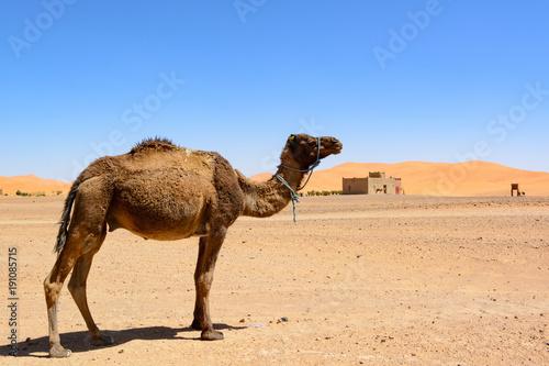 Fotobehang Kameel Wielbłąd na pustyni Sahara, Maroko