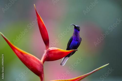 Zamyka w górę błękitnego hummingbird, Campylopterus hemileucurus, błyskotliwy Fiołkowy Sabrewing umieszczał na czerwonym heliconia kwiacie przeciw abstrakcjonistycznemu, kolorowemu, różowemu i zielonemu tropikalnemu tłu ,. La Paz. Kostaryka.