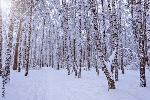 Birch tree grove.