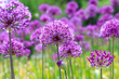 Leinwanddruck Bild - Purple floral landscape. Persian onion flowers. Close-up picture. Awesome floral composition for banners, posters and other design projects.