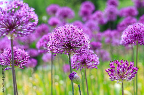 Leinwanddruck Bild Purple floral landscape. Persian onion flowers. Close-up picture. Awesome floral composition for banners, posters and other design projects.