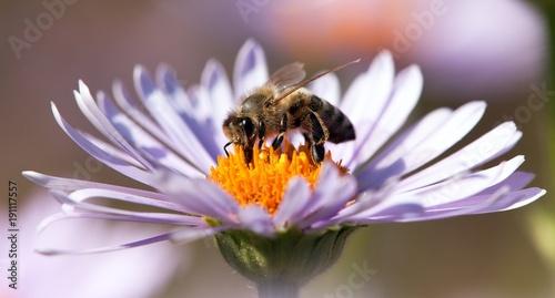 zdjecie-pszczoly,-kwiat,-tlo,-plakat