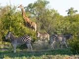 Giraffe and zebras - 191131553