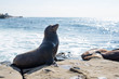 Sea lion Poses on the rock near La Jolla Cove.