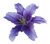 Violet lily  flower  on a white isolated background with clipping path  no shadows.  For design, texture, borders, frame, background. Closeup.  Nature.