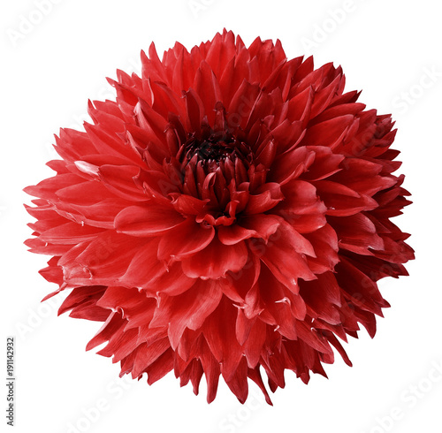 Fotobehang Rood traf. Red dahlia. Flower on a white isolated background with clipping path. For design. Closeup. Nature.
