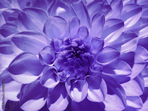 Canvas Snoeien Macro flower violet dahlia. Background from a flower. Closeup. Nature.