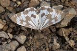 Nyctemera adversata, Moth of the family Erebidae. Sukhai, Nagaland - 191145346