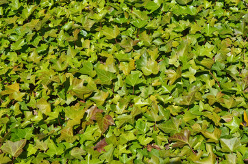 Southern ornamental  outdoor plant  liana Ivy background.