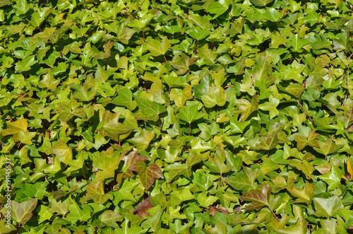 Foto op Plexiglas Landschappen Southern ornamental outdoor plant liana Ivy background.