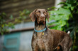 German Shorthair Pointer dog outdoor portrait standing by house
