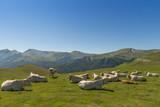 Troupeau de vaches en liberté dans les estives dans les Pyrénées au Col de Larrau. - 191150991