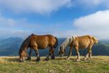 chevaux en liberté dans les estives (pâtures) dans les Pyrénées au col de Bagargui. - 191151570
