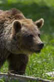 Ours des Pyrénées (ours brun). - 191152370