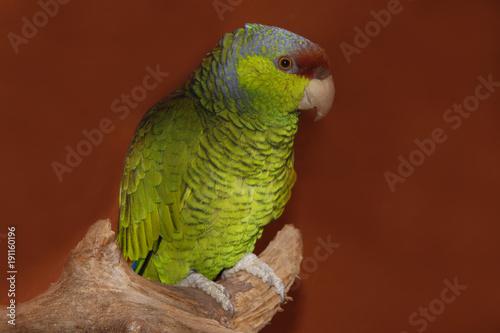 Fotobehang Papegaai Rotstirnamazone (Amazona autumnalis)