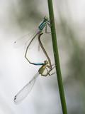 Paarung von zwei Libellen (Kleinlibellen) an einen Grashalm. - 191163389