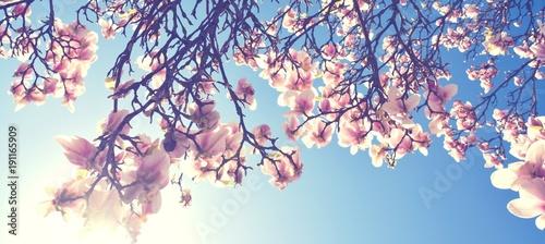 Foto Murales Magnolien Blüte im Frühling