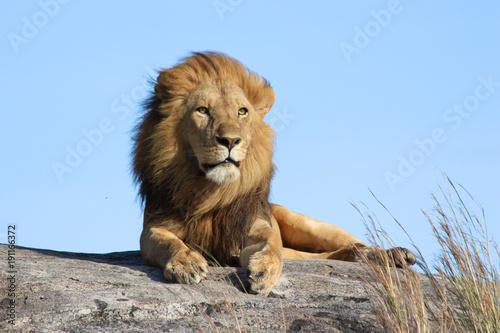 Fototapeta Male lion on the rocks in Serengeti National park Tanzania