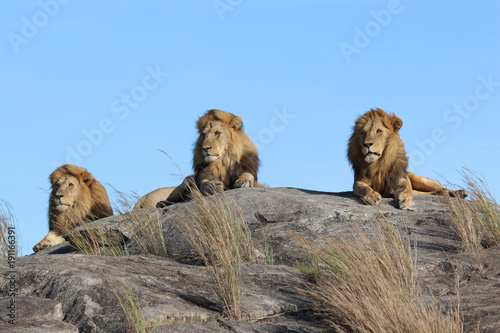 Fotobehang Lion Male lions on the rocks in Serengeti National park Tanzania